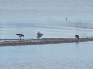 Pied Oystercatchers & Silver Gull