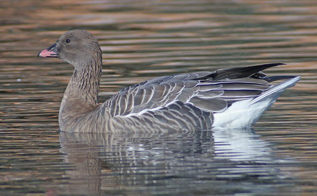 pink-footed-goose-bbotw2