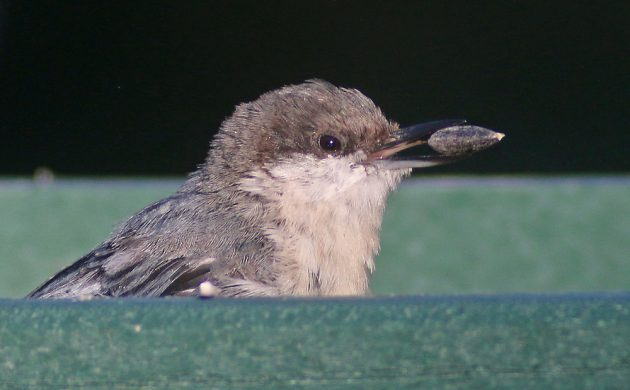 Pygmy Nuthatch at the feeder