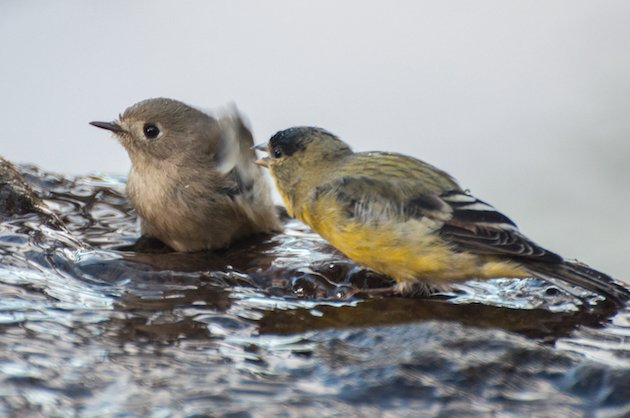 Ruby-crowned Kinglet and Male Lesser Goldfinch
