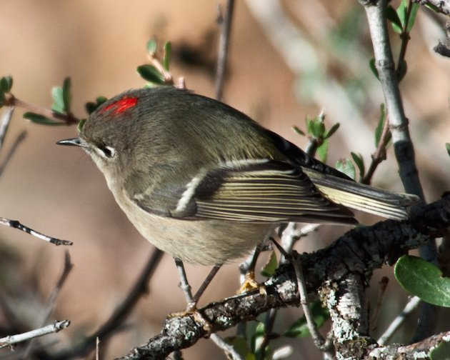 Ruby-crowned Kinglet Male
