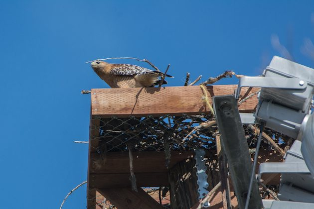 Red-shouldered Hawk in Osprey Platform