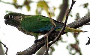 Reddish-bellied Parakeet