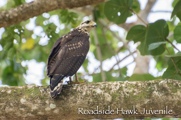 Roadside Hawk Juvie
