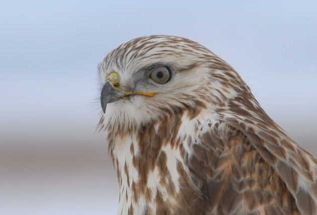 Rough-legged Hawk closeup by Dave Menke
