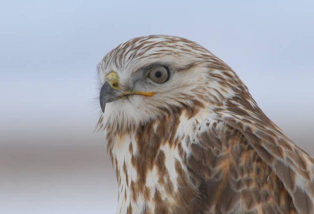 Rough-legged Hawk closeup by Dave Menke