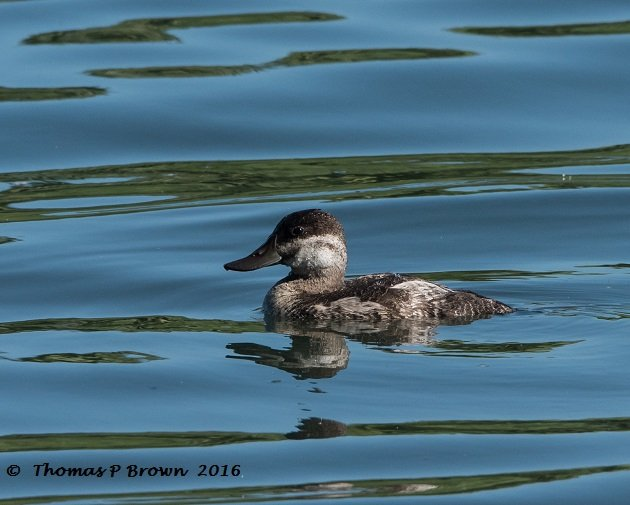 ruddy-duck