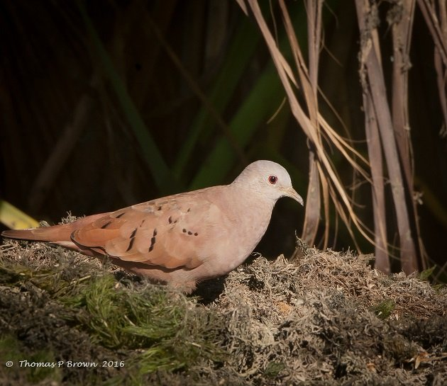 Ruddy Ground Doves (1)