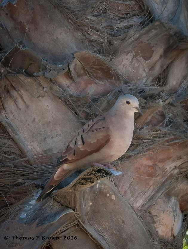 Ruddy Ground Doves (2)