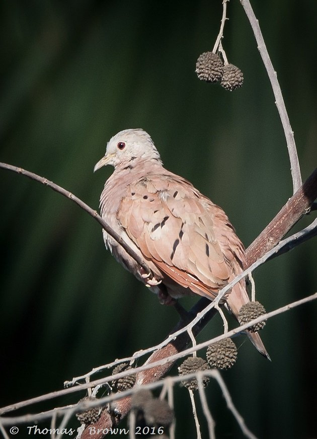 Ruddy Ground Doves (3)