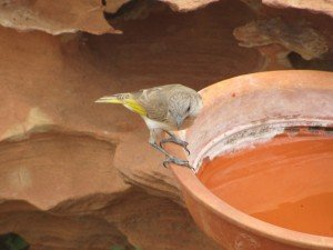 Rufous-throated Honeyeater (3)