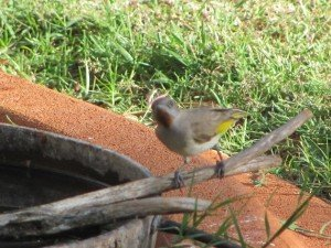 Rufous-throated Honeyeater (6)
