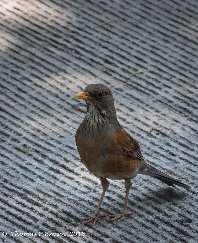 rufus-backed-robin-1