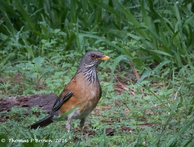 rufus-backed-robin-2