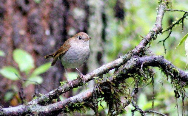 Nightingale-Thrushes