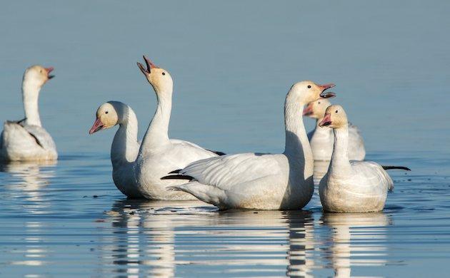 Snow Geese at Sacramento NWR