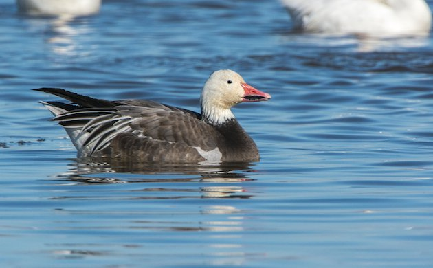 Snow Goose Dark Morph