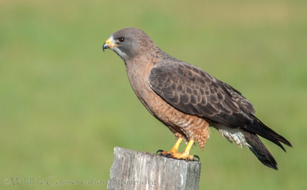 Swainson S Hawks In Plumas County 10 000 Birds