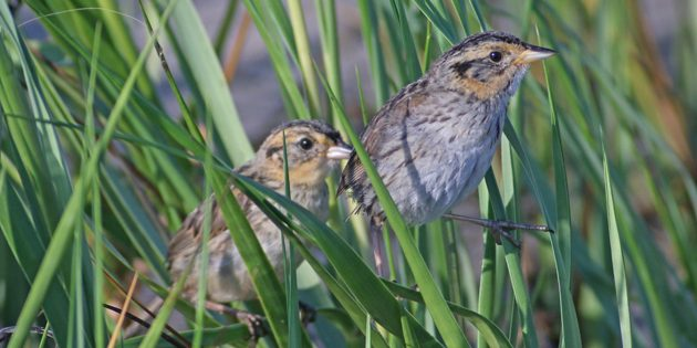 New York City Park Department Contractor Tears Up Imperiled Sparrows Home