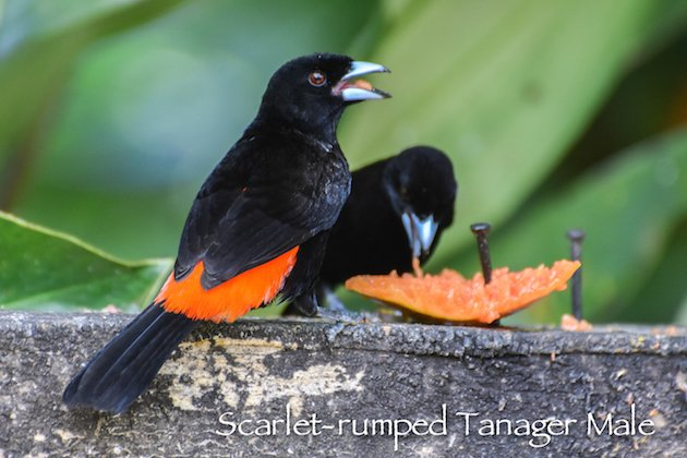 Scarlet-rumped Tanager Male