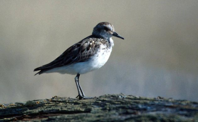 Semipalmated Sandpiper by Tim Bowman, USFWS