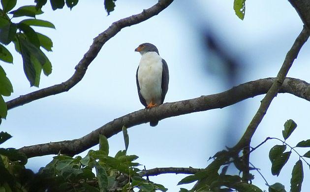 semiplumbeous-hawk