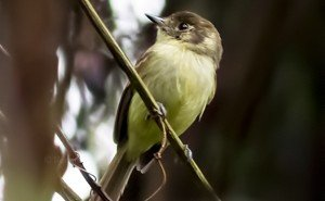 Sepia-capped Flycatcher