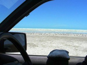 Shorebird counting from the car