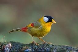 Birding Laifengshan, Tengchong, Yunnan, China