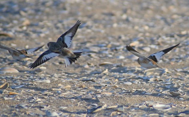 snow-buntings-in-flight