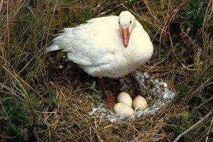 Snow Goose on Nest, USFWS
