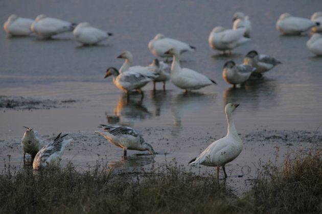 Snow Geese, USFWS