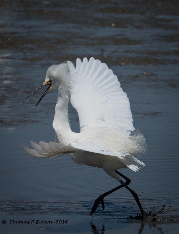 snowy-egret-1