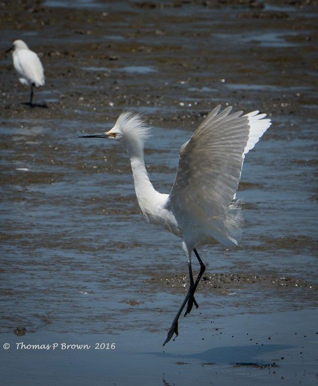 snowy-egret-4