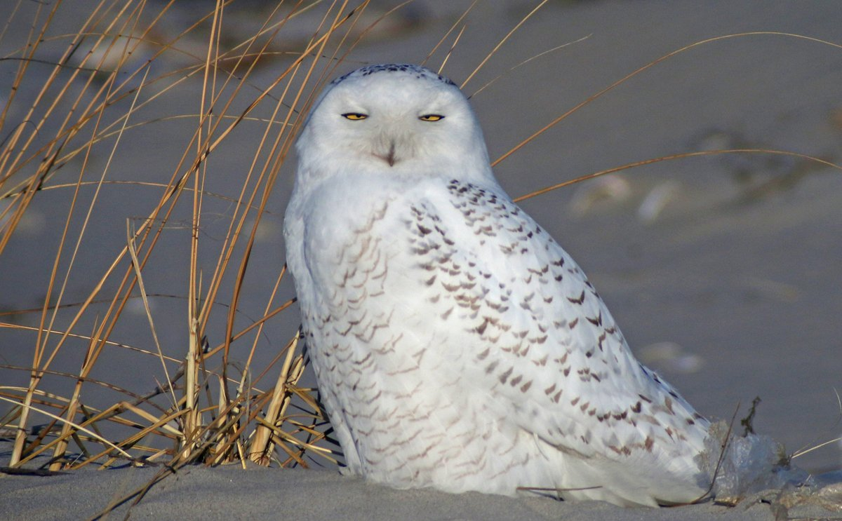 10000 birds snowy owl ethics social media is also a mechanism for getting feedback for birders and nature photographers this includes likes and comments like great shot and biocorpaavc Choice Image