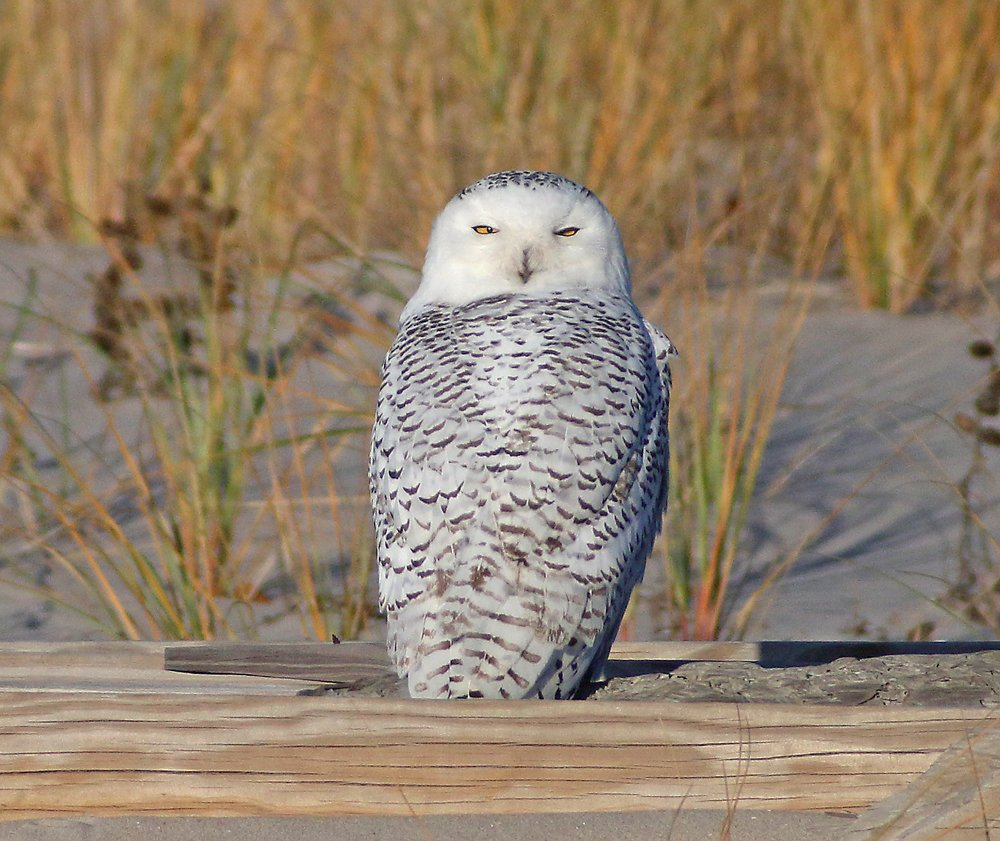 10000 birds snowy owl ethics many of us birders including me are happy with a distant look but photographers need to get good photos as birders we must understand that biocorpaavc Choice Image