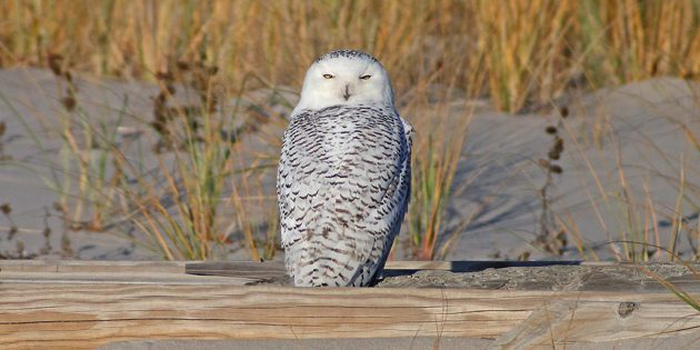 Come@Me: Snowy Owls are Superior in Every Way to Great Gray Owls