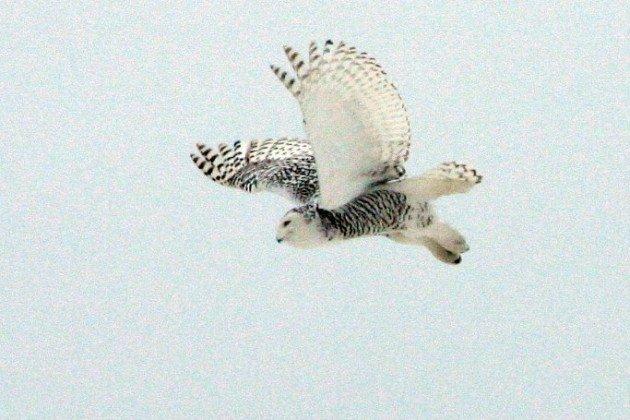 Snowy Owl by Kate Ter Haar