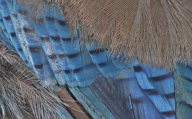 Steller's Jay feather detail