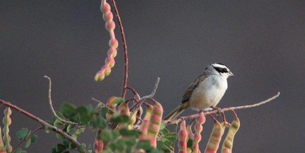 Birds of Tierra Caliente