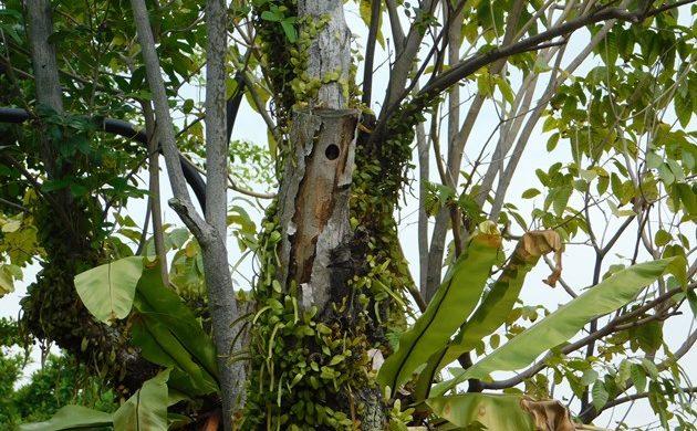 Sunda Pygmy Woodpeckers in Singapore