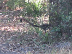 Superb Lyrebird (4)