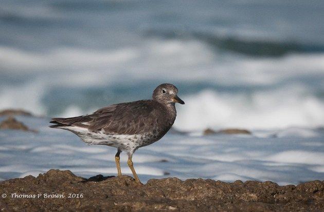 surfbirds-1