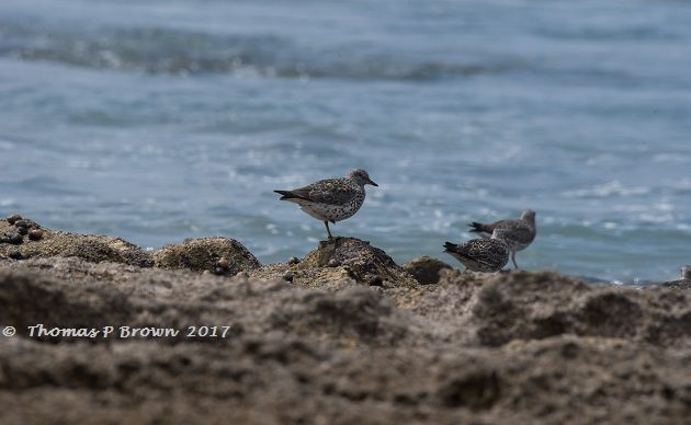 Surfbirds of Conquista Agraria