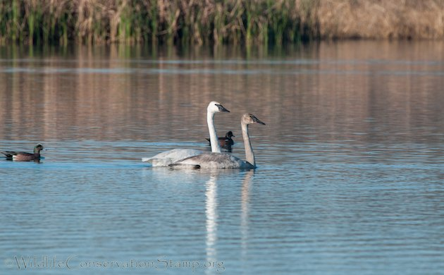 Trumpeter Swan Adult With Juvenile