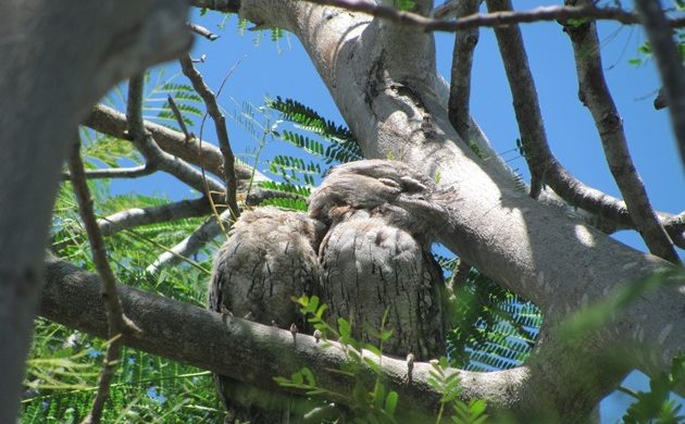 Tawny Frogmouth family in a supermarket car park