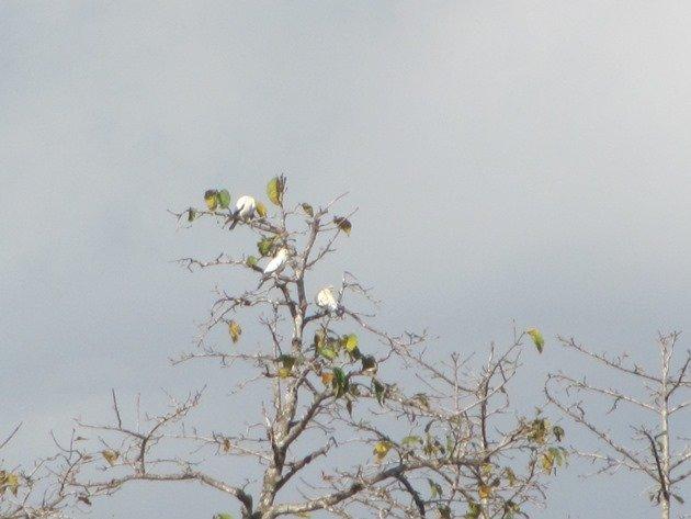 torresian-imperial-pigeons