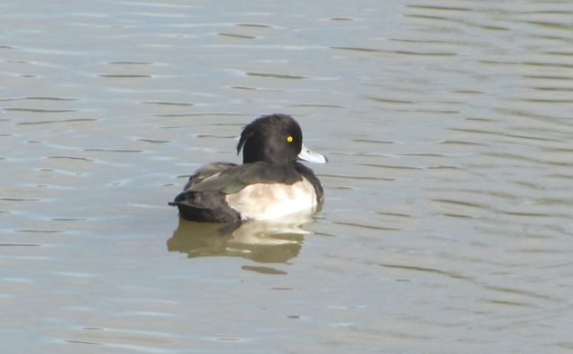 Tufted Duck in Australia