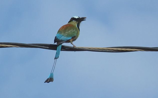 turquoise-browed-motmot-2