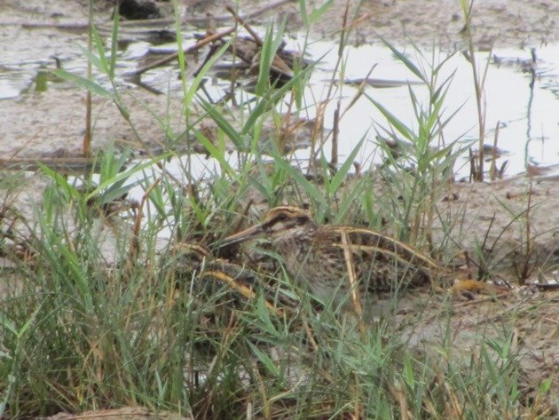two-jack-snipe